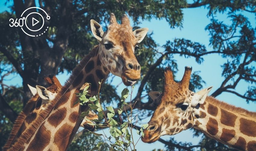 Three girafes representing an online zoo tour