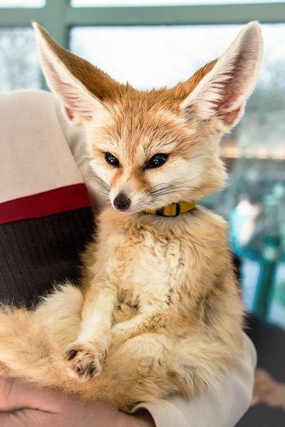Fennec fox sitting like a person