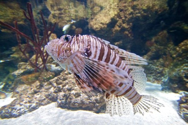 Striped tiger fish in an aquarium