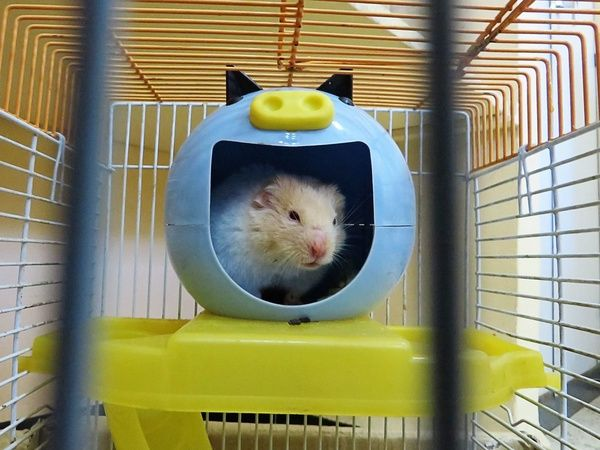 Hamster in a cage in a blue ball