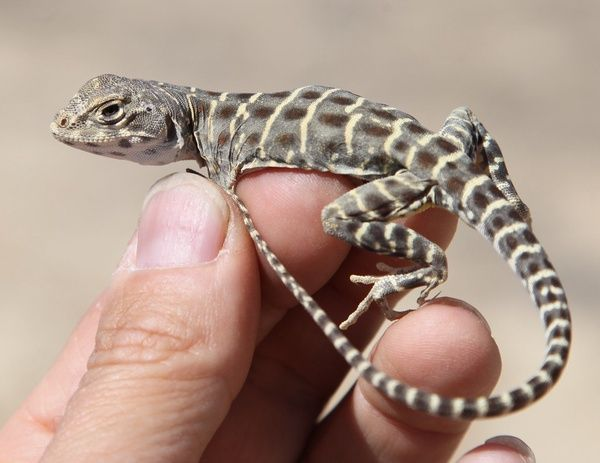 Lizard perched on man's hand